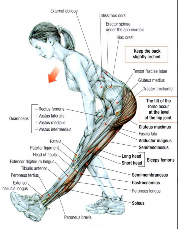 structure of leg,backs muscles