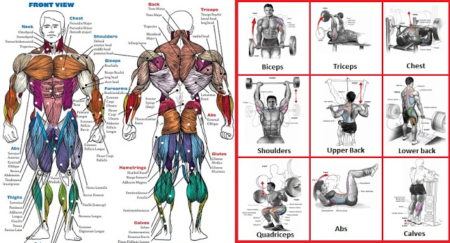 A List Of Top Weight Training Exercises For Each Muscle Group
