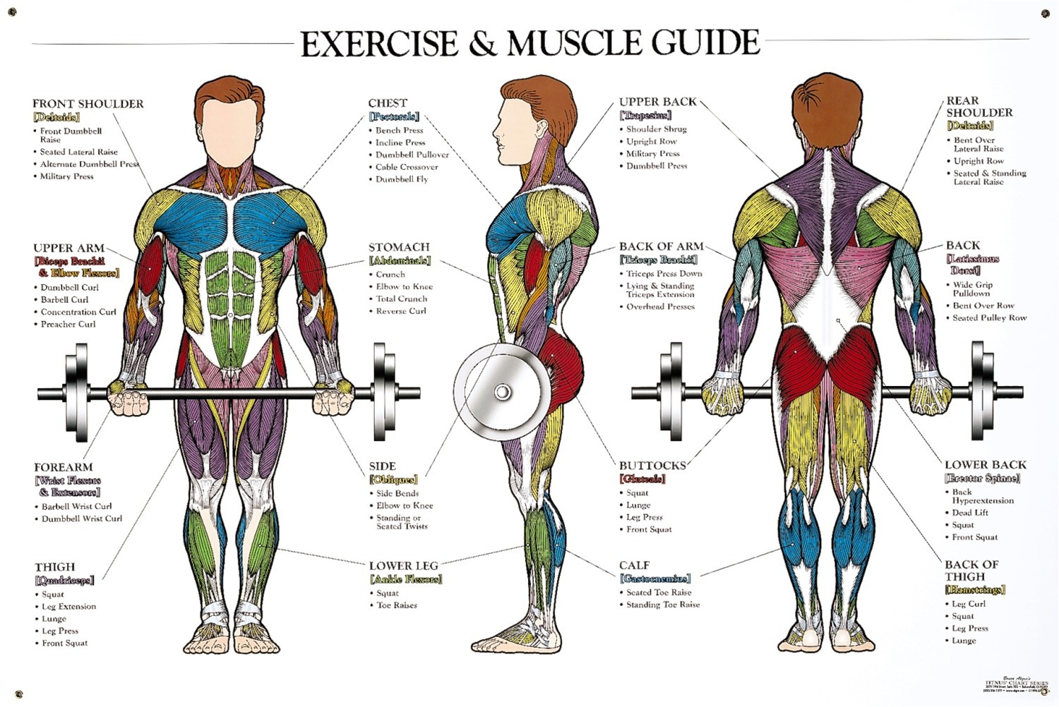 Muscle Anatomy Workout Image Weighteasyloss Fitness