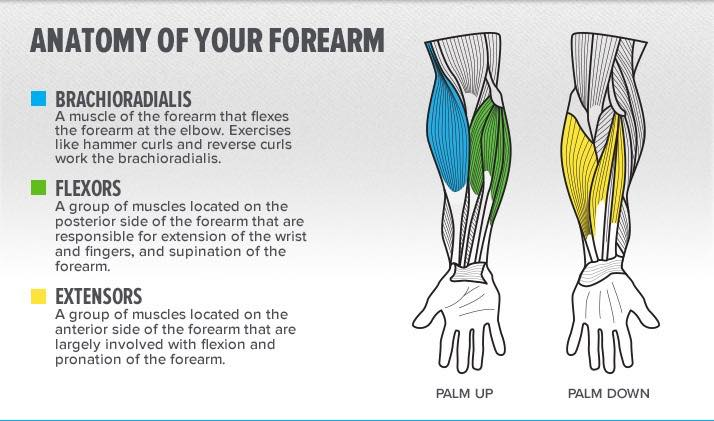forearm structure