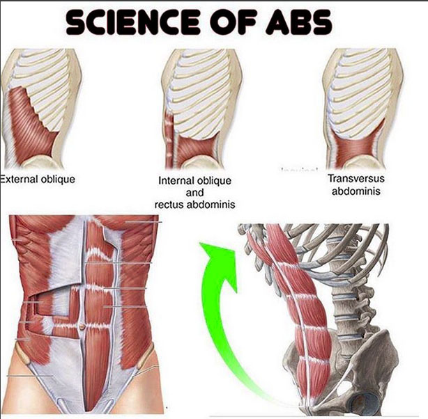 ab wheel diagram 20 9 ulrich temme de \u2022how to ab wheel proper form exercise videos guides rh weighteasyloss com arm muscles diagram of