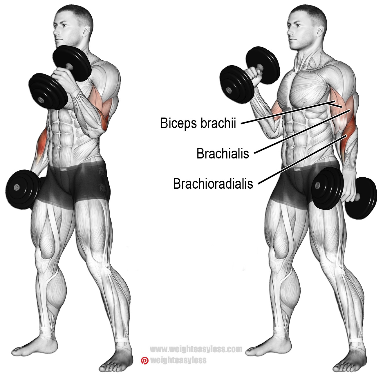 Exercise the hammer on the biceps