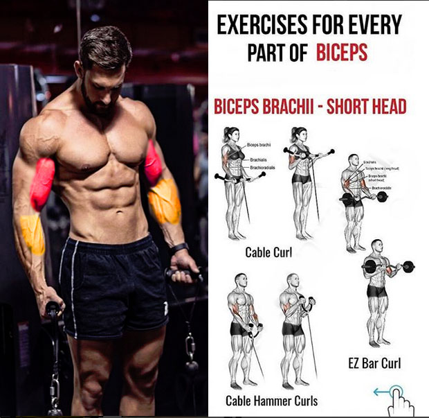 BICEPS BRACHII - SHORT HEAD
