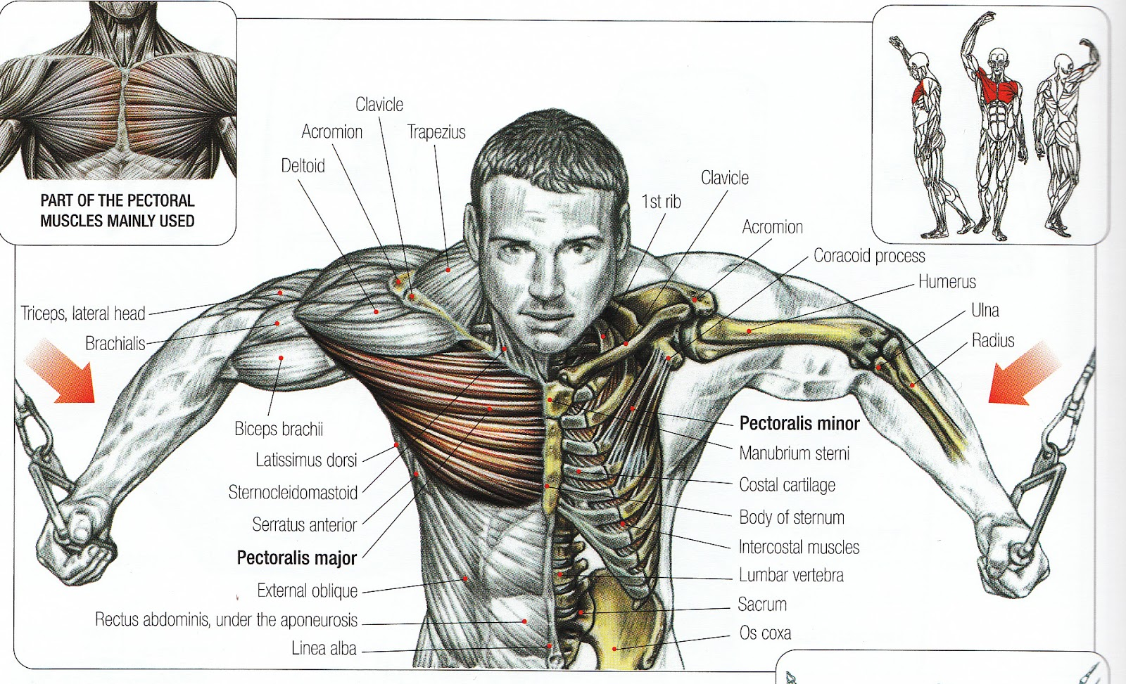 Cable Flys middle chest