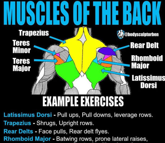 Muscles of the back (back anatomy)