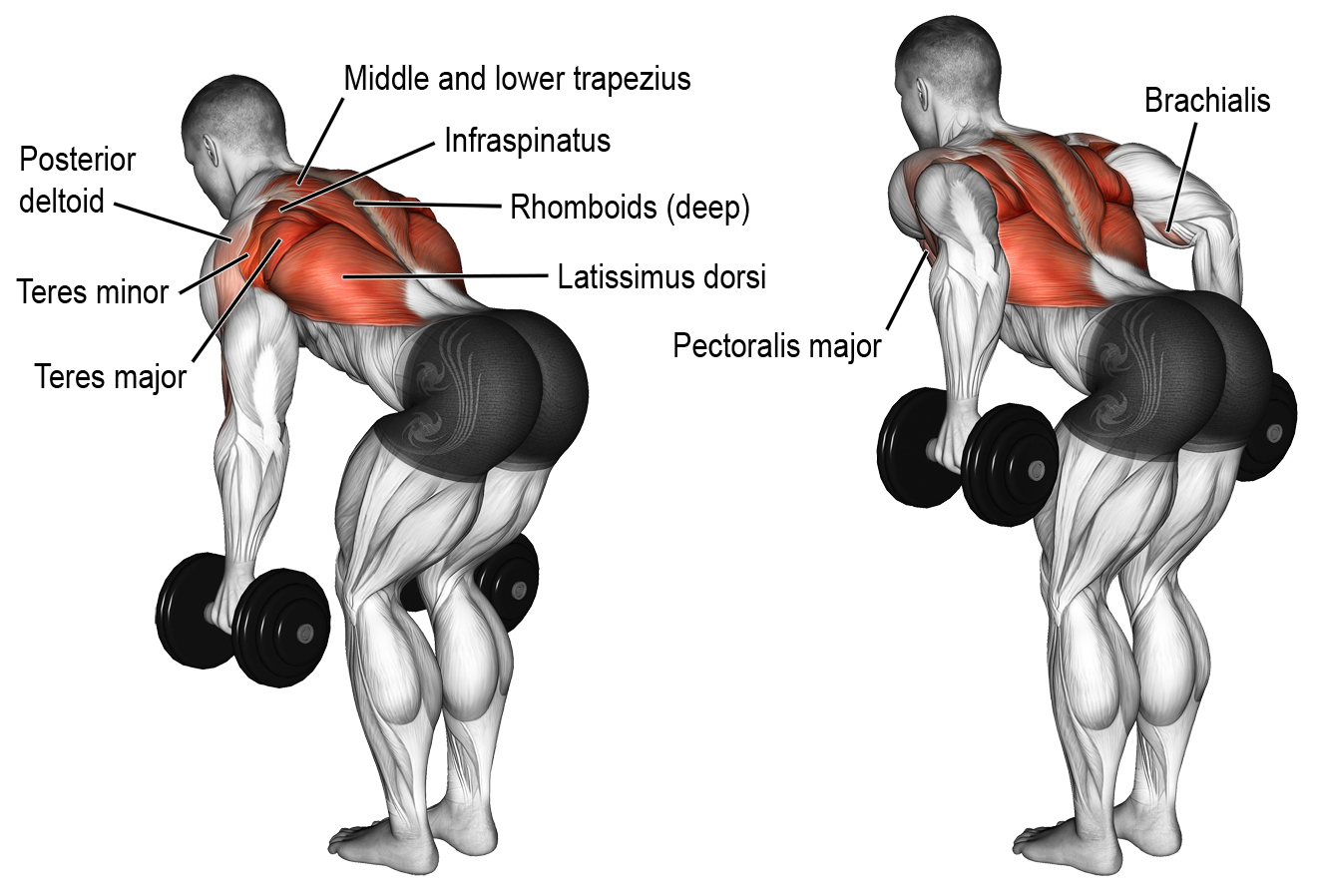 Bent Over Rows