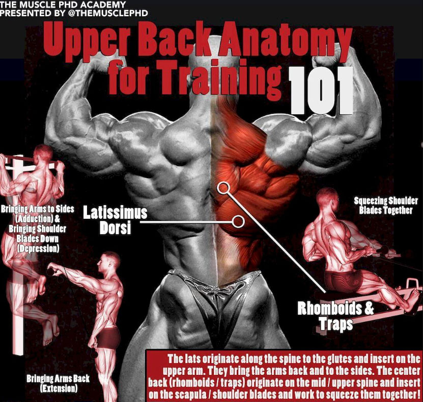 Upper Back Anatomy For Training