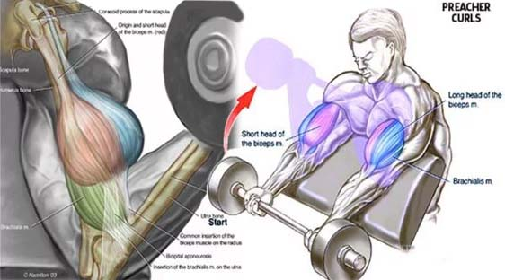 how to preacher curls