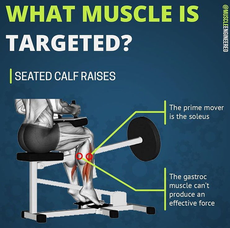 WHAT MUSCLE IS TARGETED | SEATED CALF RAISES