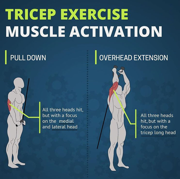 Anatomy of the Tricep