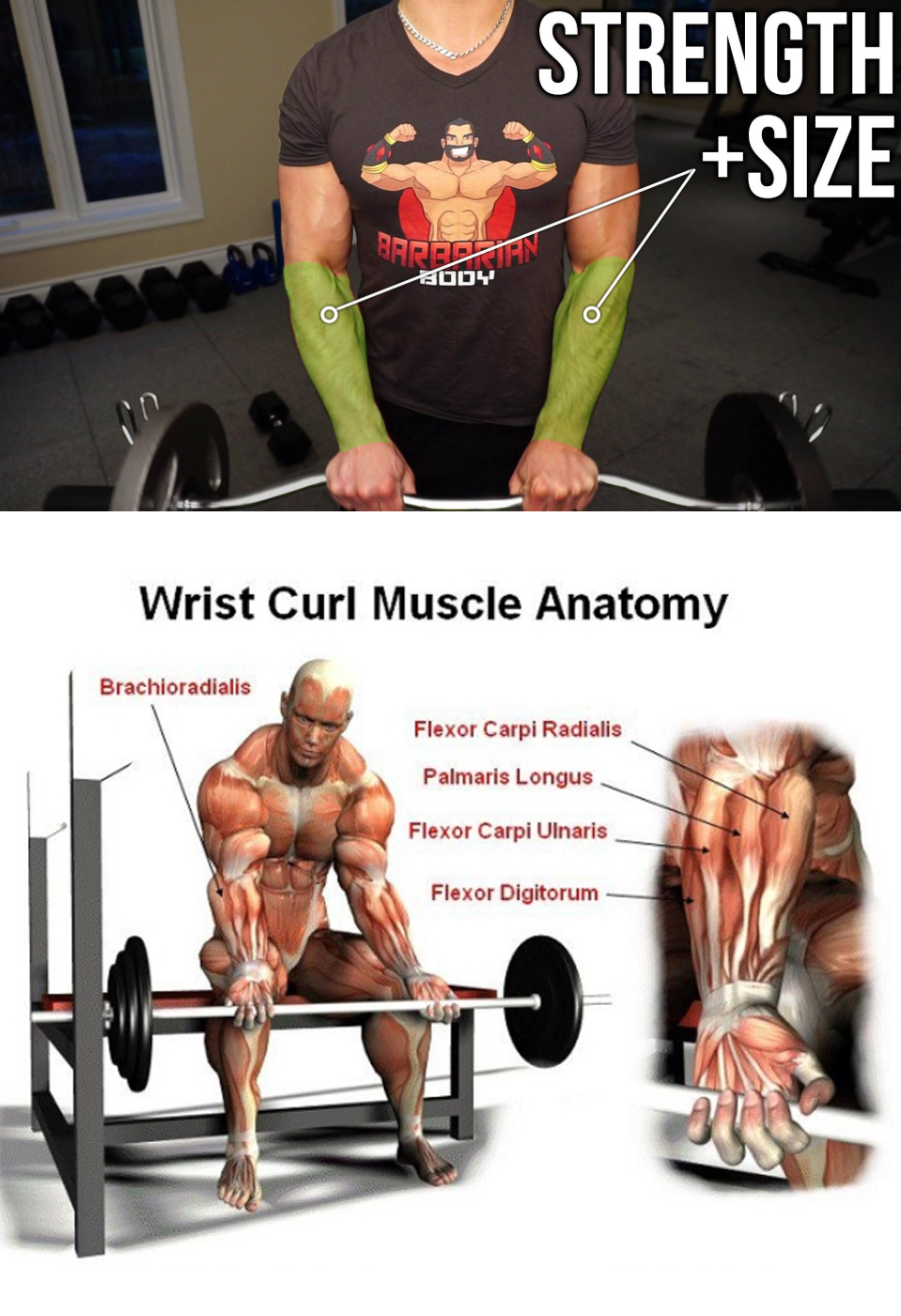 Wrist Curl Muscle Anatomy