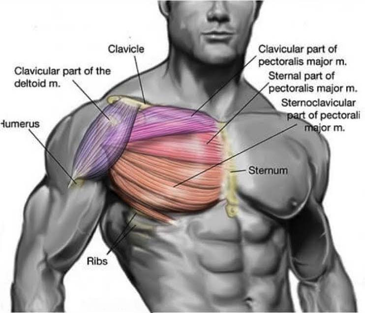Chest Muscle Structure