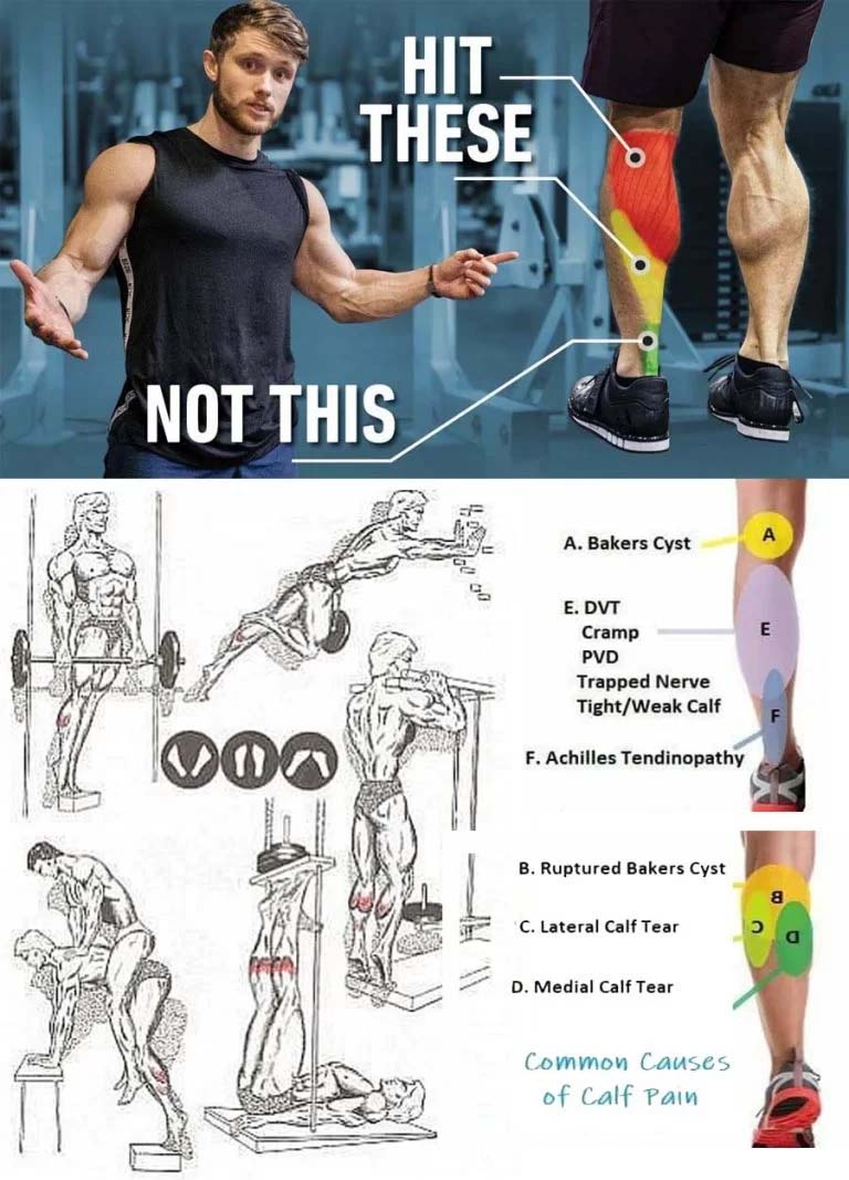 The calf muscles: anatomy and function